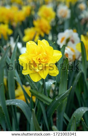Narcissus, Daffodil Golden Ducat (Narcissus, Amarylli daeceae), flowers in spring after rain. Close up. Photo stock ©