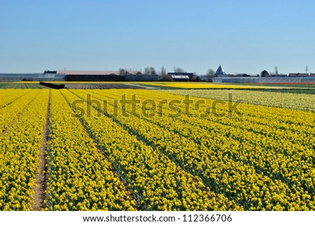 Narcissus fields in the spring of The Netherlands.