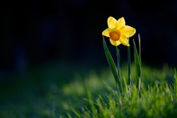 Narcissus flower or daffodil in green grass with side light and with dark background. A single, solitary yellow flower in a spring landscape.