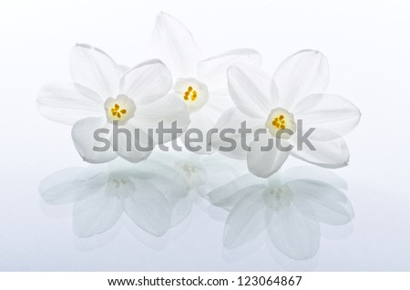 Narcissus Flowers Back Lit