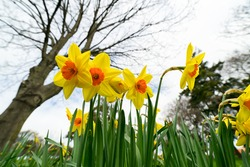 narcissus flowers blooming in spring