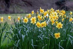 Narcissus Fortune blossoms in spring. Close view.