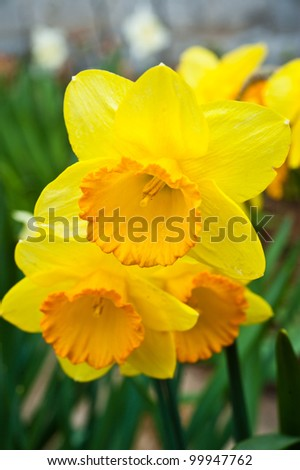 Narcissus in the garden