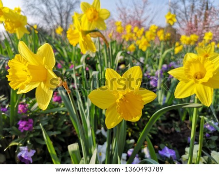 Narcissus (Plant) or Wild Daffodil in Yellow color, is one of the most popular flower in world and Germany. Flower meaning for Good luck and happiness and arrival of spring background.