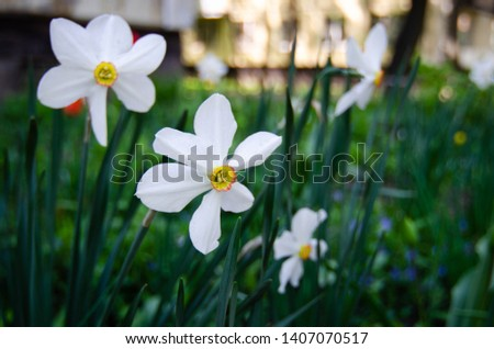 Narcissus (plant). White flowers. Daffodil, daffadowndilly, narcissus and jonquil. (close-up)