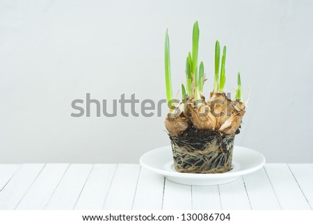 narcissus root balls in humus, white wood table