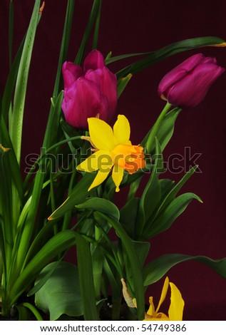 Narcissus & tulip