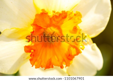 Narcissus white yellow flower macro for nature background