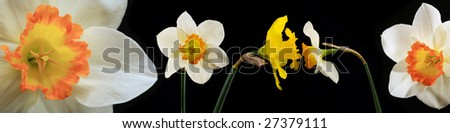 narcissuses on black background