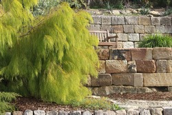 Narrow-leaf bower wattle plant growing in a garden with sandstone retaining walls and a park bench in the background