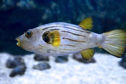 Narrow-lined puffer (Arothron manilensis) in sea water