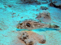 Narrow-lined puffer - Komodo, Indonesia