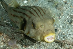 narrow-lined pufferfish with cleaner shrimps
