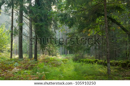 Narrow path crossing autumnal stand of Bialowieza Forest in morning
