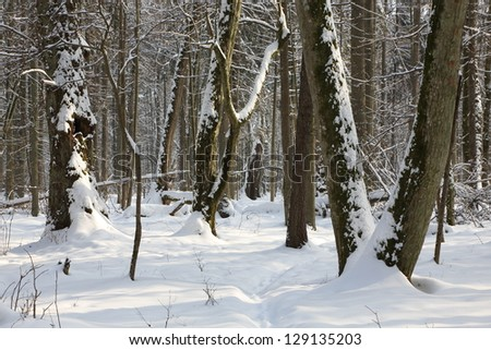 Narrow path in snow crossing old deciduous stand in afternoon with some old trees