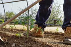 narrow perspective of a farmer hoes a freshly transplanted tomato plant in the vegetable garden inside the greenhouse