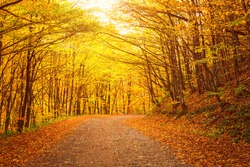 Narrow winding road in yellow autumn forest, nature sunny landscape