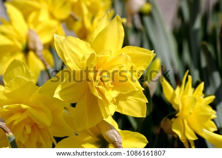 Narzisse Golden Ducat (Narcissus, Amarylli daeceae), flowers in spring Photo stock ©
