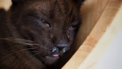 nasal discharge in old brown cat.Feline Upper Respiratory Infections