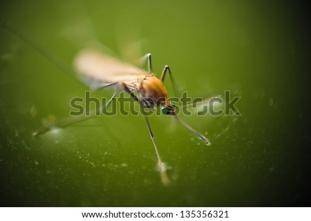 Nascent mosquito stands on green water surface