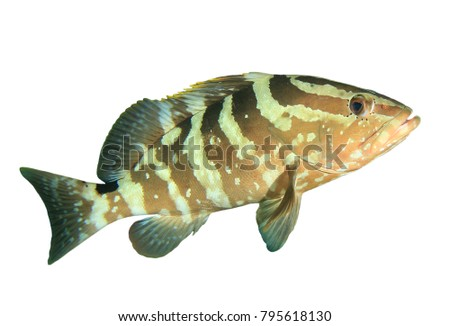 Stock Photo Nassau Grouper fish isolated on white background