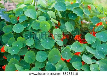 Nasturtium plant - stock photo