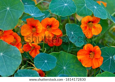 Nasturtium - South American trailing plant with round leaves and bright orange, yellow, or red ornamental edible flowers Stockfoto ©