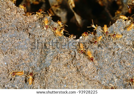 Nasute termites defending a break in their nest