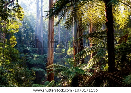 Natife Australian rainforest - eucalyptus trees and ferns #1078171136