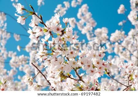 National Cherry Blossom Festival cherry blossom trees in bloom