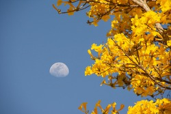 National flower of Brazil. Very flowery yellow ipe with blue sky and moon background. Crescent moon with yellow flowers.