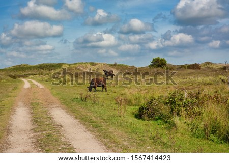 National park De Muy with dark brown Galloway cattle in the Netherlands on island Texel  Foto stock ©