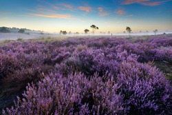 National Park 'Loonse  en Drunense Duinen', famous for its sand dunes and heather fields, province of 'Noord-Brabant', the Netherlands