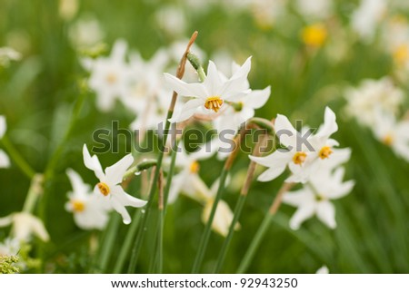 National park of wild narcissies  - Narcissus Valley. Famous Narcissus Valley, the only in Europe reserve of the narrow leaf narcissuses. The international network of biosphere reserves by UNESCO.