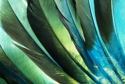 Native American Indian duck feathers detail.  This is a macro photo of some colorful turquoise and green duck feathers that came from a Native American Indian costume.