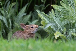Native baby bunny nibbling on a plant growing in a garden