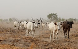 Native Cattle in Dusty Background