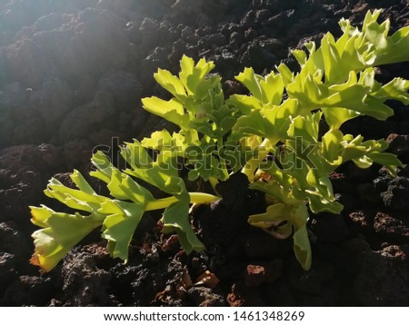 native flora of the canary islands #1461348269