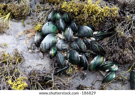 how to grow mussels at home