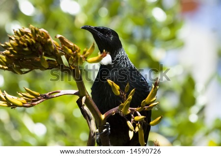 Native New Zealand bird Tui sitting on a branch of flax plant. Close-up