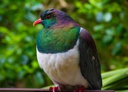 Native Wood Pigeon New Zealand