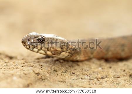 natrix in sand