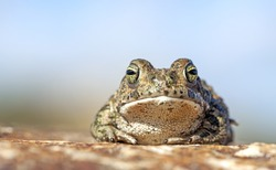Natterjack toad (Epidalea calamita).
