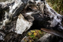 Natural abstraction, a stone in a charred tree.