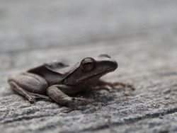 Natural animal photos, Eye focus,Tree frogs are small in appearance, their skin is brown.  The front legs are shorter than the hind legs.  Use the fifth method to move the body back by jumping.