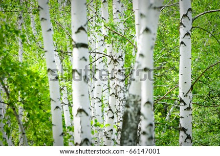 Natural background - a summer birchwood