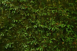 natural background - a vertical rock in a tropical forest, completely covered with a variety of hygrophilous vegetation, mosses and ferns