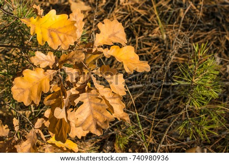 natural background autumn color of the oak leaves which brightly illuminates the sun on a bright day #740980936