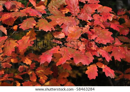 Natural background: Autumn red oak leaves in forest. Algonquin Park, Ontario, Canada