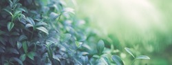 Natural background border with fresh juicy leaves with soft focus outdoors in nature, wide format, copy space, atmospheric image in soothing muted dark green tones.